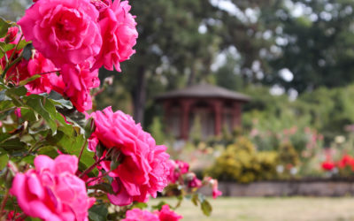 Die weltgrößte Rosensammlung im Europa-Rosarium Sangerhausen