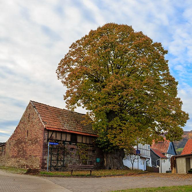 Gemeinde Südharz - Hainrode Dorflinde